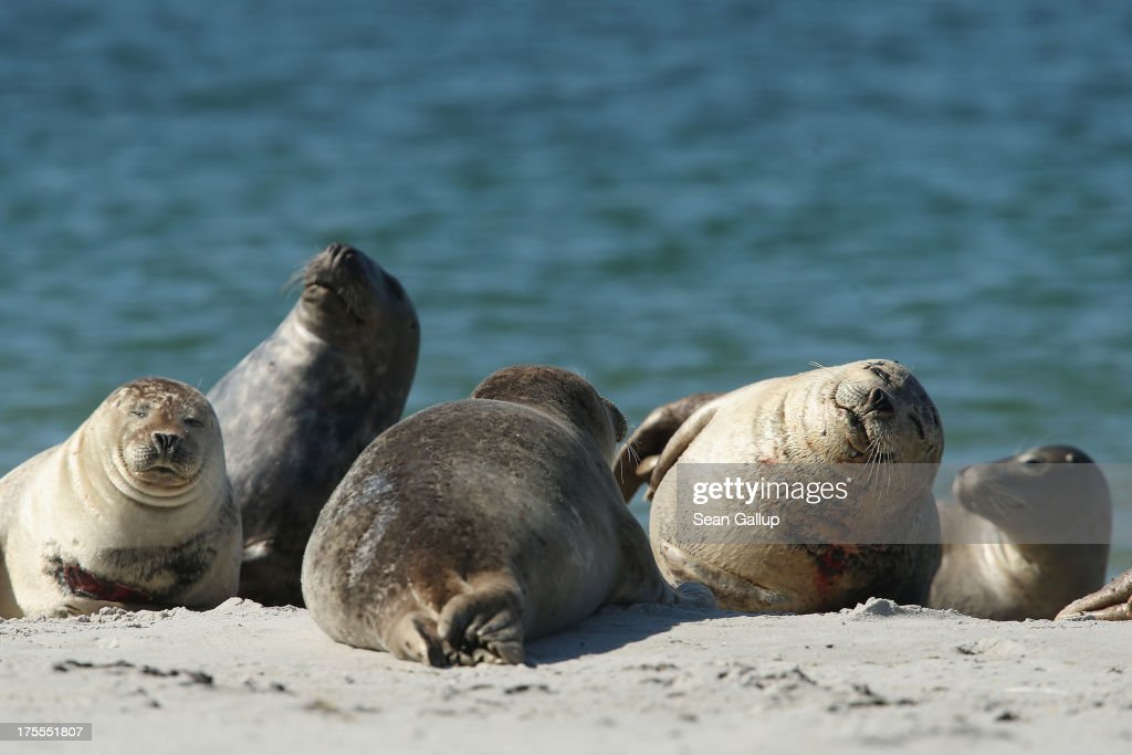 Atlantic grey seals (Halichoerus grypus - in German: Kegelrobben) bask in hot weather on a sunny day on the south beach of Duene Island on August 4, 2013 near Helgoland, Germany. Duene Island was once an extension of neighboring Heligoland Island until a storm in 1721 severed the connection. Heligoland Island, in German called Helgoland, lies in the North Sea and until World War II was a popular tourist destination. During the war it became strategically vital and all overground structures were obliterated by massive Allied bombing. Today the island has a population of about 1,200 and is again a popular tourist destination known for its abundant wildlife.