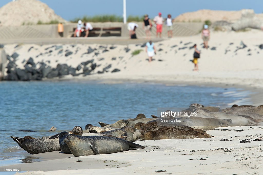 Atlantic grey seals (Halichoerus grypus - in German: Kegelrobben) bask in hot weather on a sunny day on the south beach of Duene Island as beach goers walk by on August 4, 2013 near Helgoland, Germany. Duene Island was once an extension of neighboring Heligoland Island until a storm in 1721 severed the connection. Heligoland Island, in German called Helgoland, lies in the North Sea and until World War II was a popular tourist destination. During the war it became strategically vital and all overground structures were obliterated by massive Allied bombing. Today the island has a population of about 1,200 and is again a popular tourist destination known for its abundant wildlife.