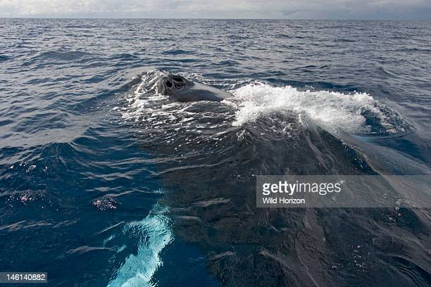 Atlantic humpback whale surfaces to breathe Its twin blowholes are characteristic of all baleen whales Megaptera novaeangliae Silver Bank Humpback...