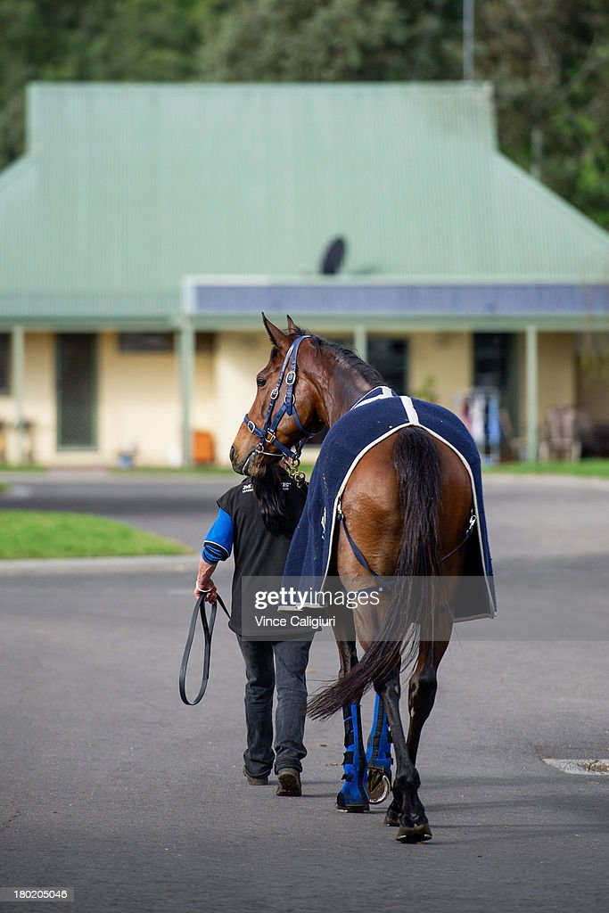 Atlantic Jewel walks back to stables after going for a swim at Flemington Racecourse on September 10, 2013 in Melbourne, Australia.