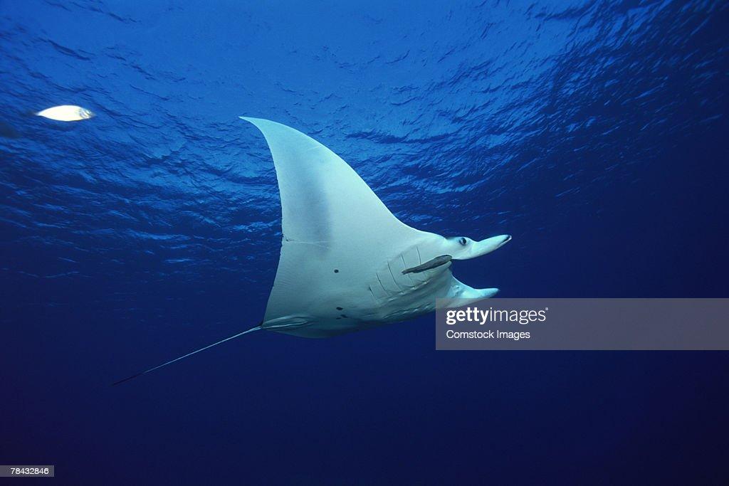 Atlantic manta ray : Stockfoto