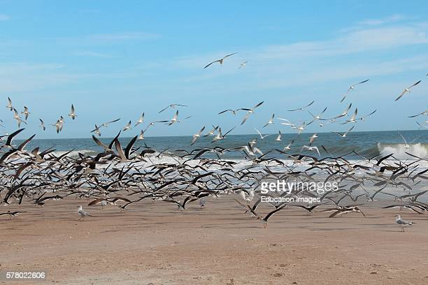 Atlantic Ocean Amelia Island Florida sea gulls Skimmer birds