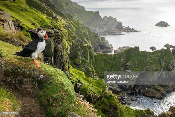 atlantic puffin at clifftop edge - reserva natural parque nacional fotografías e imágenes de stock