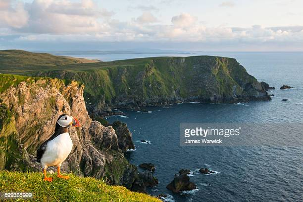 atlantic puffin at clifftop edge - scotland photos et images de collection