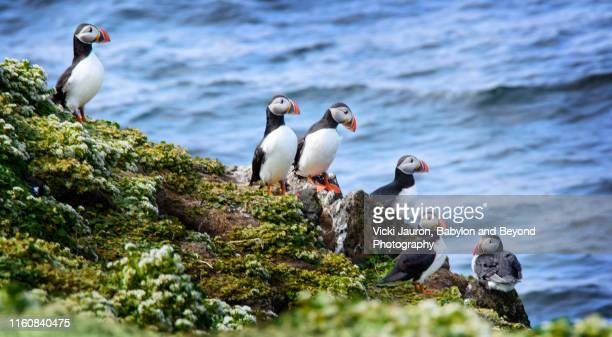 atlantic puffin at grimsey island, iceland - rookery stock pictures, royalty-free photos & images