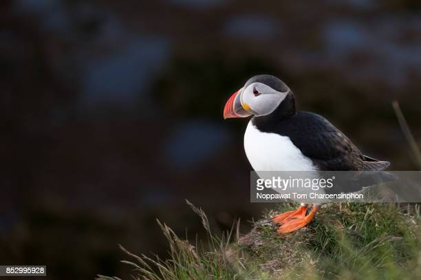 atlantic puffin at latrabjarg in westfjords, iceland - westfjords iceland stock photos and pictures