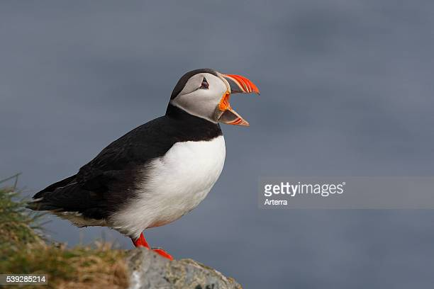 Atlantic puffin calling from cliff