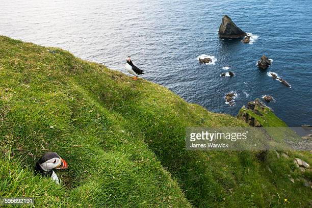 Atlantic puffin emerging from clifftop nest burrow