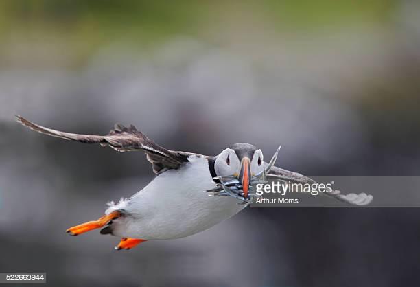 atlantic puffin flying with fish in bill - 食物連鎖 ストックフォトと画像