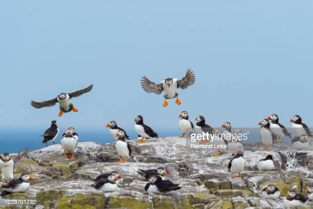 atlantic puffin, fratercula arctica, colony, farne island, northumberland, england, uk, europe - 海洋性の鳥 ストックフォトと画像
