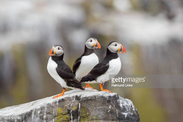 atlantic puffin, fratercula arctica, three birds, europe - zeevogel stockfoto's en -beelden