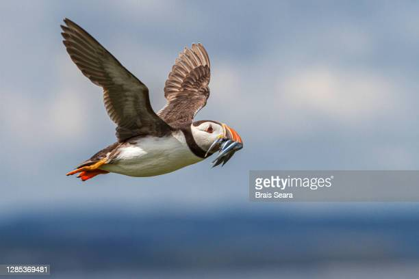 atlantic puffin (fratercula artica) in flight - threatened species stock pictures, royalty-free photos & images