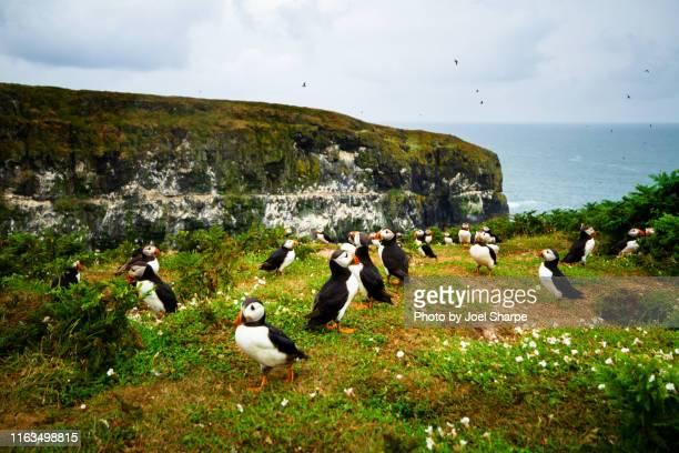 atlantic puffin island colony - islas de gran bretaña fotografías e imágenes de stock