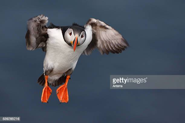 Atlantic puffin landing with wings spread