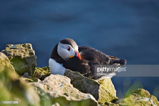atlantic puffin (fratercula arctica), latrabjarg, western fjord, iceland, atlantic ocean - vista lateral stock pictures, royalty-free photos & images
