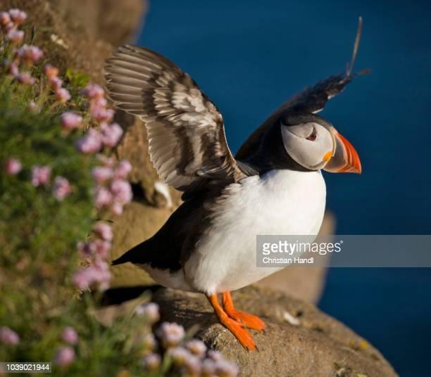 atlantic puffin (fratercula arctica), latrabjarg, westfjords, iceland, atlantic ocean - vista lateral stock pictures, royalty-free photos & images
