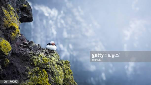 atlantische papegaaiduiker. - arctis stockfoto's en -beelden