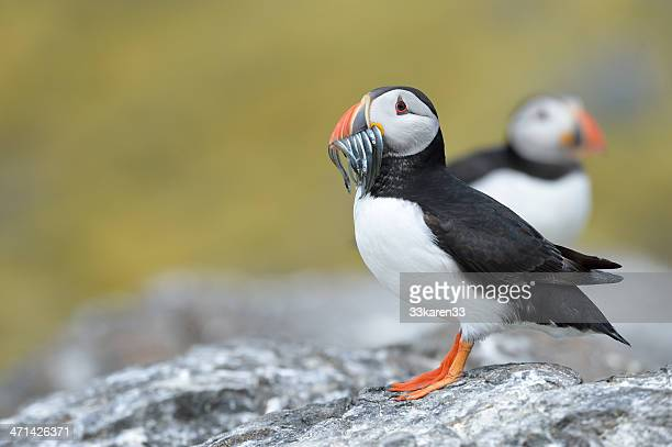 atlantic puffin - sea life stock pictures, royalty-free photos & images