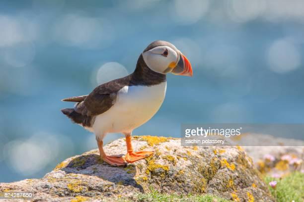 atlantic puffin - meerkanal stock-fotos und bilder