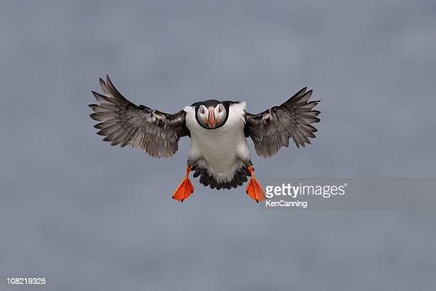 Macareux moine Seabird volant