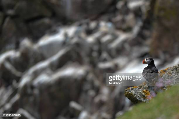 Atlantic puffin seen during a breeding season seen during the breeding season on the Great Saltee Island. The Saltee Islands are made up of two...