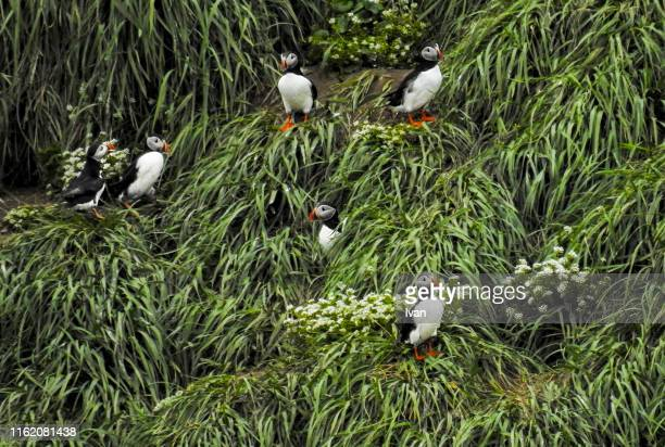 atlantic puffin sitting in the grass - rookery stock pictures, royalty-free photos & images