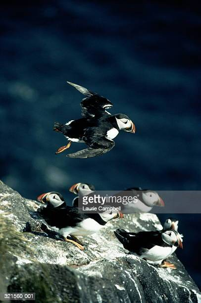 atlantic puffin swooping over others nesting on clifftop - category:cs1_maint:_others stock pictures, royalty-free photos & images