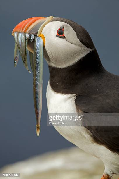 Atlantic Puffin with fish in mouth, Farne Islands, Northumberland, England