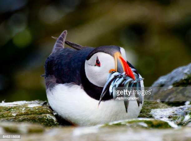 Lunnefågel med tobis