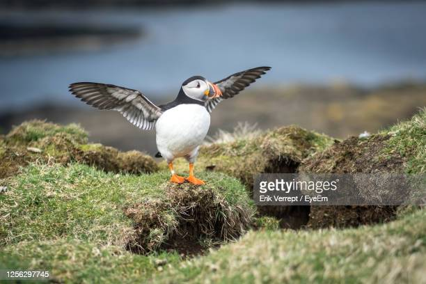 atlantic puffin with wings spread on rock - precious lunga stock pictures, royalty-free photos & images