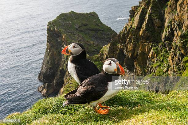 Atlantic puffins at clifftop edge in the rain
