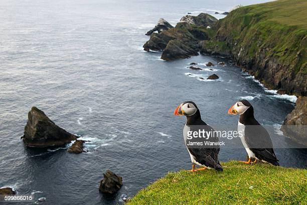 atlantic puffins at clifftop edge - nature reserve stock pictures, royalty-free photos & images
