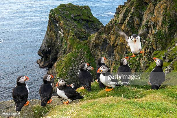 atlantic puffins congregating at clifftop edge - nature reserve stock pictures, royalty-free photos & images