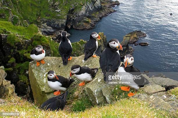 atlantic puffins congregating on clifftop rock - isole shetland foto e immagini stock