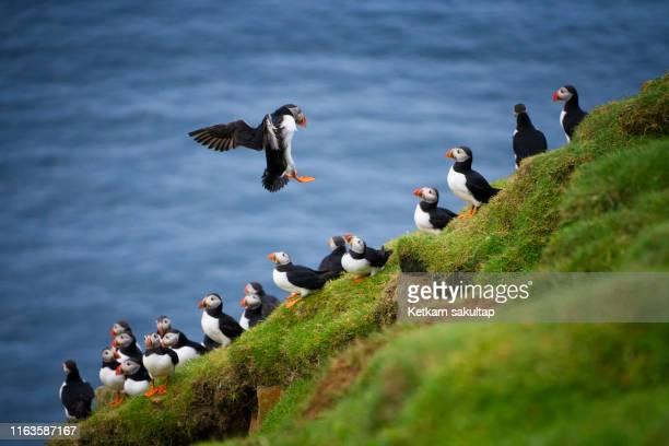 atlantic puffins is landing among their colony at mykines island, faroe islands. - islas faroe fotografías e imágenes de stock