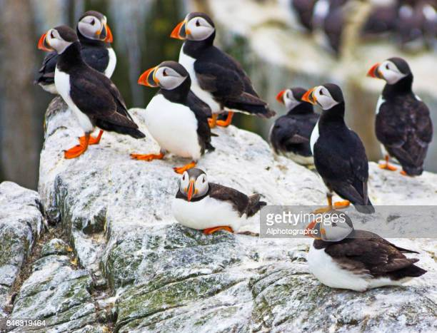 Atlantic Puffins on a cliff