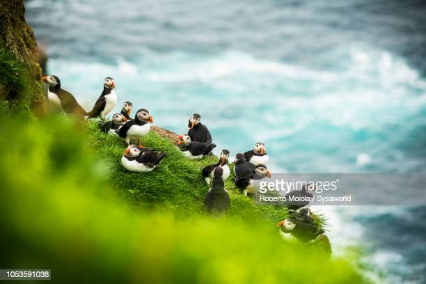 atlantic puffins on cliffs, faroe islands - islas faroe fotografías e imágenes de stock