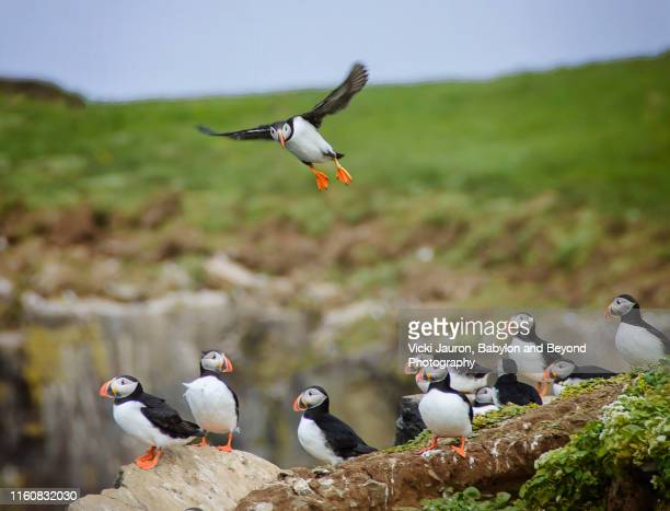 atlantic puffins on grassy cliffside at grimsey island, iceland - rookery stock pictures, royalty-free photos & images