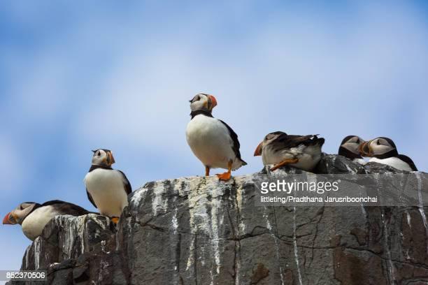 Atlantic Puffins on rocks at Farne Island