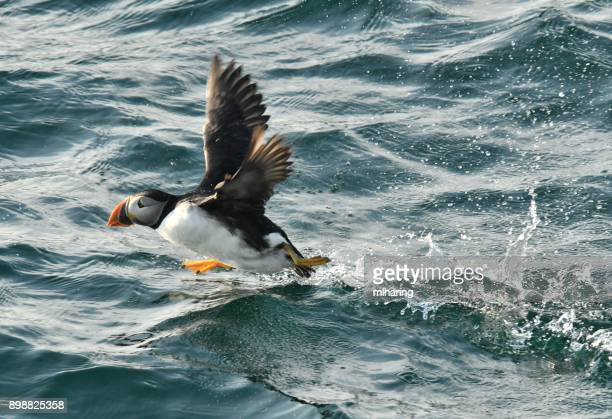 atlantic puffins - rookery stock pictures, royalty-free photos & images