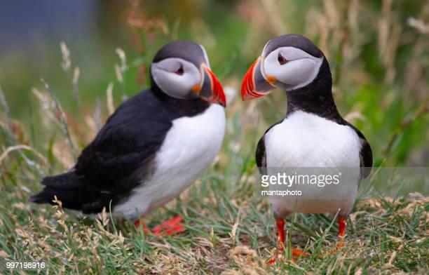 atlantic papagaios-do-mar - ilhas faeroe - fotografias e filmes do acervo