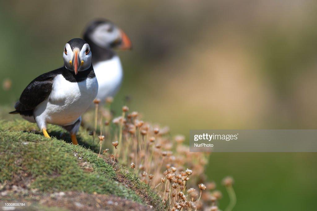 The Saltee Islands - the Most Famous Bird Sanctuary in Ireland : News Photo