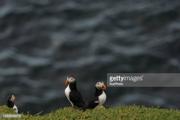 Atlantic puffins seen during a breeding season seen during the breeding season on the Great Saltee Island. The Saltee Islands are made up of two...
