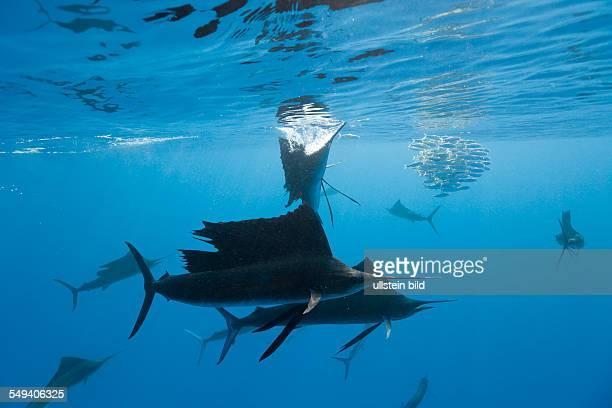 Atlantic Sailfish and Photographers Istiophorus albicans Isla Mujeres Yucatan Peninsula Caribbean Sea Mexico