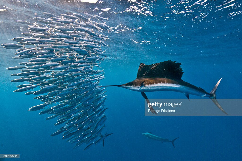 atlantic-sailfish-attacking-a-sardine-baitball-hoping-to-strike-one-picture-id632168741 - Fish - Photos Unlimited