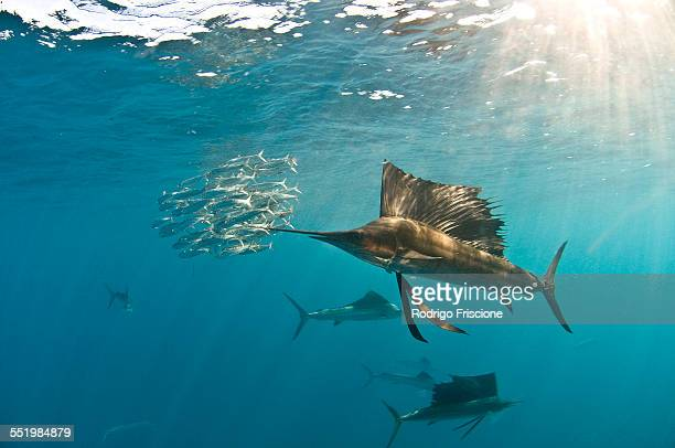 atlantic sailfish (istiophorus albicans) gather around the waters of contoy island, quintana roo, mexico, to hunt and feed on migrating sardines - gulf of mexico stock pictures, royalty-free photos & images