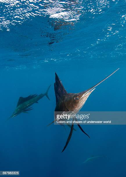 Atlantic Sailfish hunting