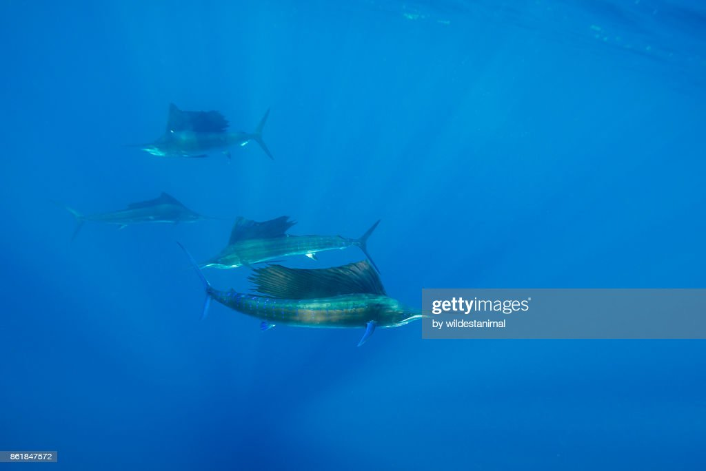 Atlantic sailfish hunting sardines in the waters off the coast of Cancun, Mexico. : Stock Photo