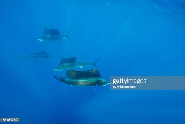 atlantic sailfish hunting sardines in the waters off the coast of cancun, mexico. - isla mujeres stock photos and pictures