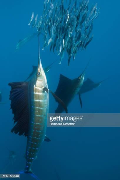 atlantic sailfish (istiophorus albicans) hunting sardines, isla mujeres, yucatan peninsula, caribbean sea, mexico. - mujeres fotos stock-fotos und bilder